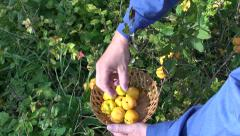 Man collecting quince in wicker basket Stock Footage