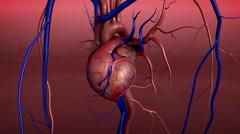Human Heart Anatomy - stock footage
