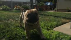 Dog Happily Running On Grass Towards Camera Chasing In Slow Motion Stock Footage