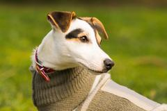 Cute Jack Russell portrait at a park. - stock photo