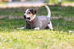 Jack Russell terrier dog playing at a park with a pine. Stock Photos