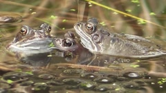 Common Frogs Courting (close up shot) - stock footage