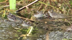 Common Frogs Courting - stock footage