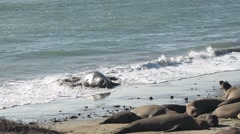 Northern elephant seal Stock Footage