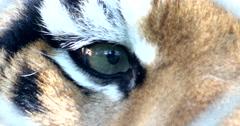4K Tiger Eyes Stock Footage