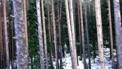 Pov fly in pine tree forest with winter snow, 4k Stock Footage