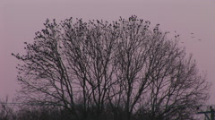 Birds explode from a crown of a tree in purple evening sky, no filters used. Stock Footage
