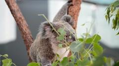 Eating Koala Bear in Tree Stock Footage