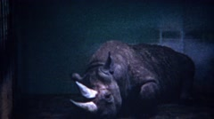1956: Sad rhinoceros animal at zoo loaded up with sedative drugs. Stock Footage