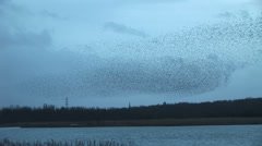 Natural blue background no filter used as murmuration of birds fly in the sky - stock footage