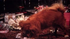 1956: Dog opens Christmas gift ripping open newspaper wrapping. Stock Footage