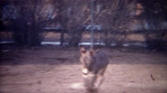 1956: Baby donkey running towards fence to greet awaiting mother. Stock Footage