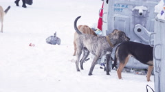 Dogs on snow in garbage Stock Footage