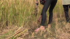 A young female farmer cuts rice in the fields near Yangshuo, China - stock footage