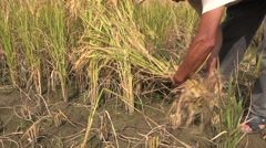 Closeup of a Chinese farmer using a sickle to harvest rice by hand Stock Footage