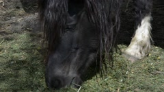 Black pony eating grass - stock footage