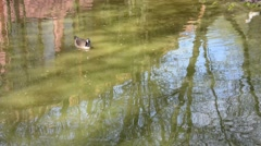 Cackling Goose swimming in a pond Stock Footage