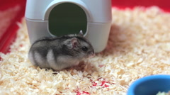 Funny hamster walking close up - stock footage