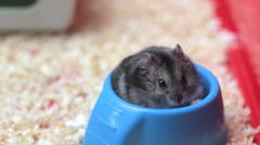 Funny hamster eating  close up - stock footage