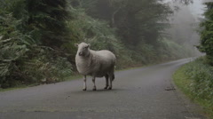 Sheep On Road Causing A Hazard Stock Footage