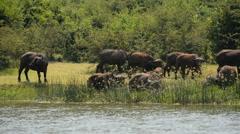 wild African Buffalos, Queen Elizabeth National Park, Uganda, Africa - stock footage