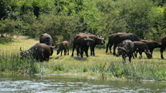 Wild African Buffalos, Queen Elizabeth National Park, Uganda, Africa Stock Footage