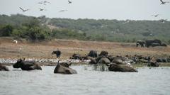 Hippo in the water, Kazinga Channel, Queen Elizabeth National Park, Uganda, Afri Stock Footage