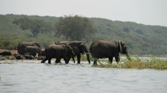 African elephant, Kazinga Channel, Queen Elizabeth National Park, Uganda. Stock Footage