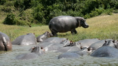 Hippo in the water, Kazinga Channel, Queen Elizabeth National Park, Uganda, Afri Stock Footage