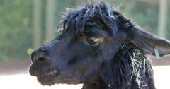 4K Alpaca eating hay, Llama - stock footage