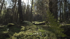 A shot of a natural pine tree forest silhouetted by the sun Stock Footage