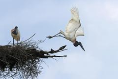Jabiru Jabiru mycteria in flight over its nest Pantanal Mato Grosso Brazil - stock photo