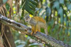 Squirrel Monkey Saimiri sciureus Amazonas State Brazil South America Stock Photos