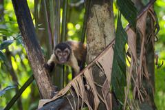 Tufted Capuchin also Brown Capuchin or Black capped Capuchin Cebus apella - stock photo