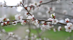 Video flowering apricot spring day - stock footage