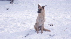 Stray dogs in snow Stock Footage