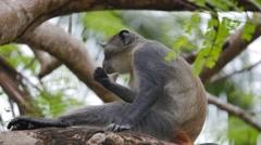 Diademed monkey eating 03 Stock Footage