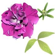 Photorealistic purple petunia isolated on white background with leaves and bu - stock illustration