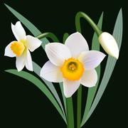 Flower narcissus closeup Stock Illustration