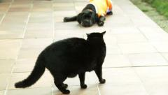 A black dog Cane Corso puppy 3m. playing with black aggressive cat. Wildlife Stock Footage