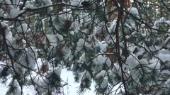 Close-up of snow-covered fir branches in a forest. Stock Footage