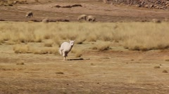 small llama alpaca runs from left to right, Peru - stock footage