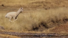 Small llama alpaca runs skipping on meadow, Peru Stock Footage
