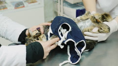 Vet with assistant bandage change the cat after surgery - stock footage
