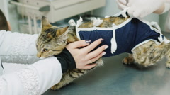 Vet with assistant bandage change the cat after surgery Stock Footage