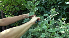 Pruning a bush garden plant hand with scissors Stock Footage