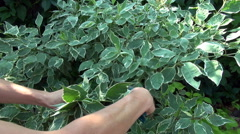 A woman cuts a bush in the garden Stock Footage