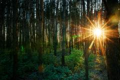 Rising sun makes its way through trunks of trees Stock Photos