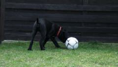 Cane Corso Dog puppy play football. Illustrative sport, wildlife - stock footage