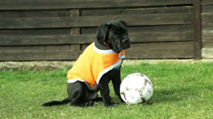 Puppy dog Cane Corso invites you to play football. Emotions Stock Footage